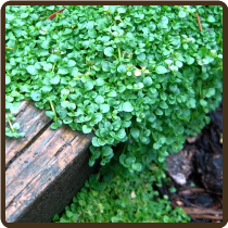 MINT, CORSICAN* - Mentha requienii(All Natural) (Now Available)
