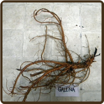 GALENA XL ROOTED RHIZOME - (All Natural)