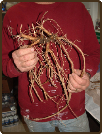 NUGGET EXTRA LARGE ROOTED RHIZOME - ORGANIC