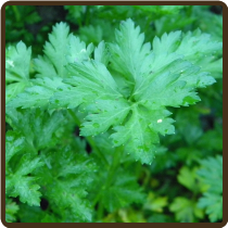 PARSLEY, ITALIAN (All Natural) - P. crispum 'Neopolitanum'