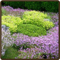 THYME, CREEPING MIXED VARIETIES (Organic) - Thymus sp. (SOLD OUT UNTIL FALL)