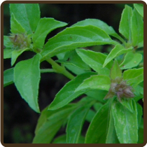 BASIL, LEMON 'Mrs. Burns'*  -  O. basilicum