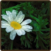 PYRETHRUM (All Natural) - Chrysanthemum cinerarifolium