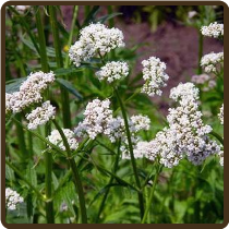 VALERIAN (All Natural) - Valeriana officinalis