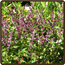 SAGE, BABY BLUE (All Natural) -Salvia napifolia