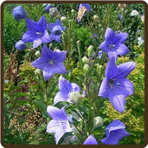 BALLOON FLOWER, BLUE (All Natural) Jie Geng - Platycodon grandiflora