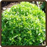BASIL, SPICY GLOBE  (All Natural) - O. basilicum minimum