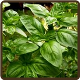 BASIL, SWEET (All Natural) - Ocimum basilicum
