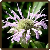 BERGAMOT, WILD (All Natural) - Monarda fistulosa