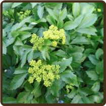 LOVAGE, BLACK (All Natural) - (Alexanders) -Smyrnium olusatrum