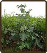 BURDOCK, GREAT (All Natural) - Arctium lappa
