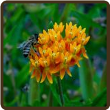 BUTTERFLY WEED (All Natural) - Asclepias tuberosa