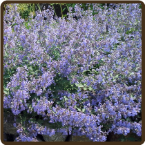 CATMINT (All Natural) - Nepeta mussini