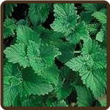 CATNIP, LEMON (Organic) - Nepeta cataria citriodora