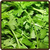CILANTRO, SLOW BOLT (Organic) - Coriandrum sativum sp.