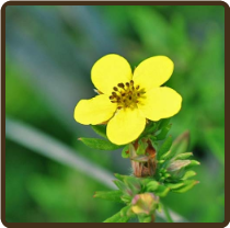 CINQUEFOIL (All Natural) - Potentilla recta