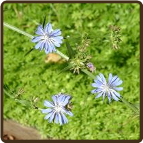 CHICORY, COFFEE (Organic) - Cichorium intybus 'Magdeburg' (SOLD OUT)