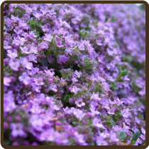 THYME, CREEPING (Organic) - Thymus serpyllum  (Available Now!)