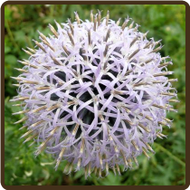 ECHINOPS, WHITE (All Natural) - Spaerocephalus 'Artic Glow' (SOLD OUT)