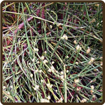 EPHEDRA, CHINESE - Ephedra sinica (SOLD OUT!)