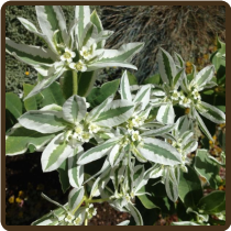 EUPHORBIA, MOUNTAIN SNOW - Euphorbia marginata