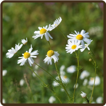 CHAMOMILE, GERMAN (All Natural) - Matricaria recutita