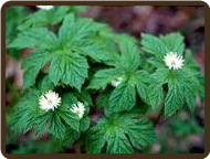 GOLDENSEAL (SOLD OUT)