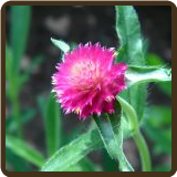 GOMPHRENA, MIXED COLORS