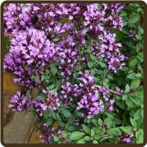 ORNAMENTAL, OREGANOS, MIXED (Organic)  - Origanum spp.