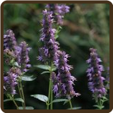 HYSSOP, PURPLE GIANT (All Natural) - Agastache scrophulariaefolia