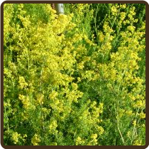 LADY'S BEDSTRAW (All Natural) - Galium verum