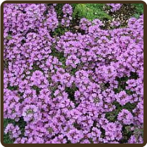 THYME, MAGIC CARPET (All Natural) - Thymus serphylum 'Magic Carpet'  (Available Now!)