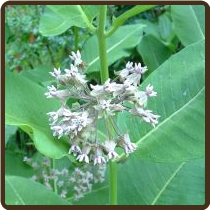 MILKWEED, COMMON (All Natural)  - Asclepias syriaca