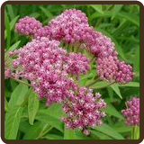 MILKWEED, SWAMP (All Natural) - Asclepias incarnata