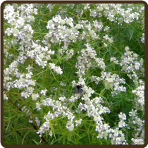 MOUNTAIN MINT (All Natural) - Pycnanthemum tenuifolium