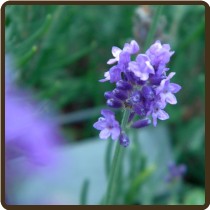 LAVENDER, MUNSTEAD (All Natural) - Lavandula angustifolia sp.