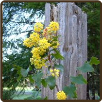 OREGON GRAPE, TALL (All Natural) - Berberis aquifolium
