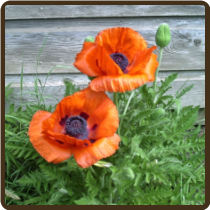 POPPY, ORIENTAL (All Natural) - Papaver orientale