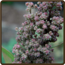 QUINOA (All Natural) -Chenopodium quinoa