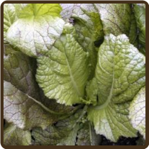 RED GIANT MUSTARD GREENS (Organic)