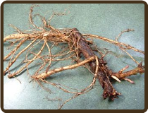 CENTENNIAL ROOTED RHIZOME - alpha 8-11% (All Natural)(Pre-Order Now)