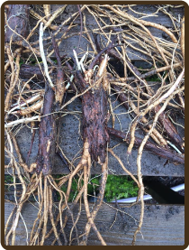 STERLING EXTRA LARGE ROOTED RHIZOME - (All Natural) alpha 6-9%