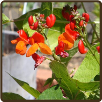 BEAN, SCARLET RUNNER (All Natural) - Phaseolus coccineus