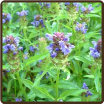 SELF-HEAL (Organic) - Prunella vulgaris