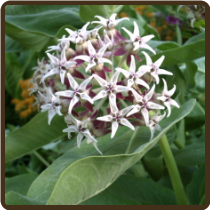 MILKWEED, SHOWY (All Natural) - Asclepias speciosa