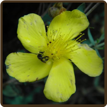ST. JOHN'S WORT (All Natural) - Hypericum perforatum