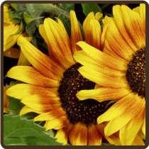 SUNFLOWERS (MIXED VARIETIES) 'Autumn Beauty' - Helianthus annuus