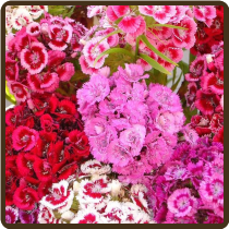 SWEET WILLIAM, MIXED COLORS - Dianthus barbatus (All Natural)