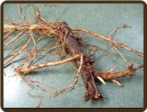 WILLAMETTE ROOTED RHIZOME - alpha 4-6% (All Natural)
