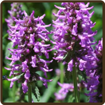 WOOD BETONY (Organic) - Stachys officinalis